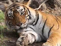 Ranthambore's Famous Tigress Machali Passes Away