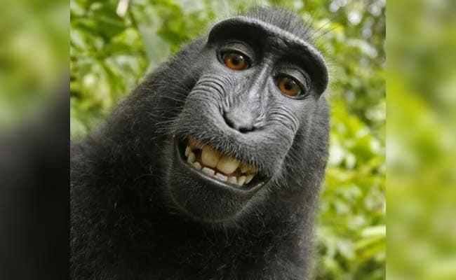 सेल्फी लेकर दुनिया भर के लोगों के चेहरे पर मुस्कान लाया था यह बंदर, अब लुप्त होने का खतरा
