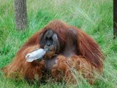 Orangutan In Swedish Zoo Can Predict Taste Of New Drink