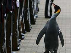 Penguin Promoted To Brigadier At Edinburgh Zoo