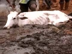 500 Cows Starve To Death In Rajasthan Shelter, Their Hooves Stuck In Muck