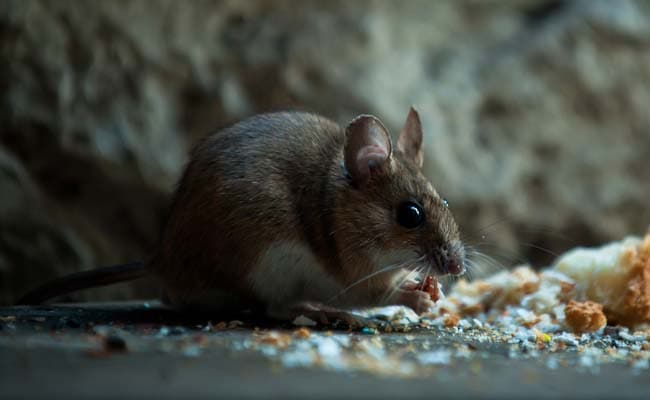 World's first human case of rat disease found in Hong Kong