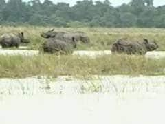 13 Rare Rhinos Drown In Kaziranga As Assam Battles Floods