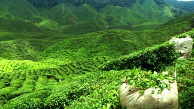Meghalaya Tea to Compete with Assam, Darjeeling