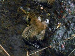 Translocated Big Cat Gives Birth To 3 Cubs In Panna Tiger Reserve