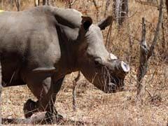 Zimbabwe To Dehorn 700 Rhinos To Shut Out Poachers