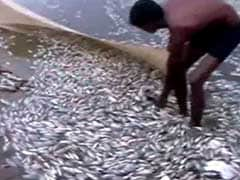 Thousands Of Dead Fish At Tamil Nadu Temple Tank