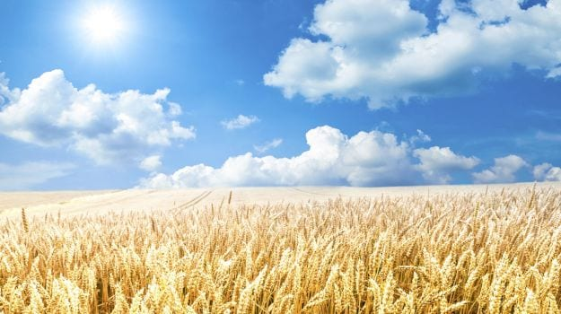 Wheat, One Of The World's Most Important Crops, Is Being Threatened By Climate Change