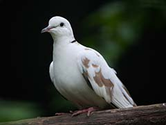 'Pigeon From Pakistan' With Urdu On Wings Probed By Punjab Cops