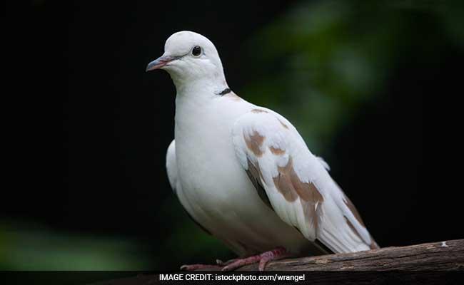 बिना टिकट बस में सफर कर रहा था कबूतर, कंडक्टर के खिलाफ कार्रवाई