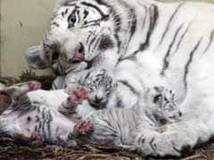 White Lions And Tigers Born In Polish Zoo
