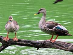 9 Ducks Found Dead In Hisar, Sultanpur National Park Closed