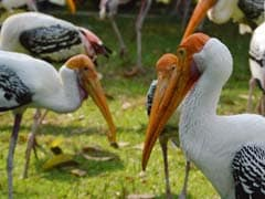 Delhi Zoo Records 500 Local Migratory Stork Births Amid Bird Flu Scare