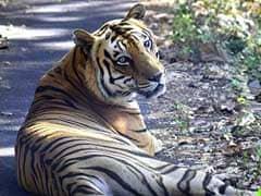 Second Oldest Royal Bengal Tiger Of Borivali National Park Dies
