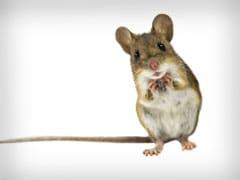 Mice Replicate Jet Engines To Sing Ultrasonic Love Songs!