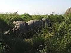 One More Rhino Killed In Kazhiranga, BJP Under Pressure To Stop Poaching