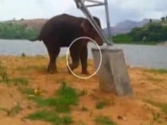Elephant Sidda, Rescued From Dam Near Bengaluru, Still Fighting For Survival