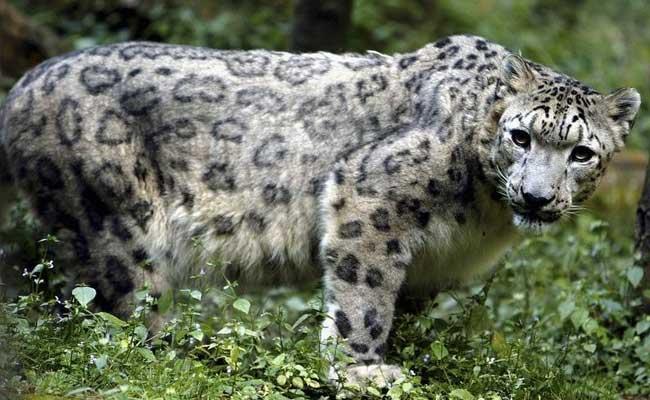 अरुणाचल प्रदेश में दिखा दुर्लभ हिम तेंदुआ- WWF