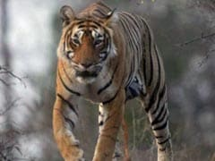 Only Royal Bengal Tiger At Tripura Zoo Dies
