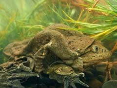10,000 Endangered Frogs Die In Peru