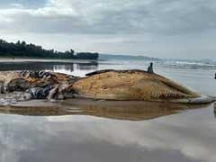 Dead Bryde's Whale Washes Ashore On Ratnagiri Beach