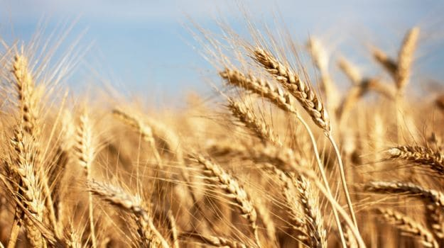 wheat 625