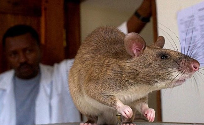 Rats May Not Be Responsible For Spreading The Black Death Plague