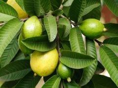 Diabetes Diet: अमरूद की पत्तियों की चाय करेगी डायबिटीज को कंट्रोल करें! सर्दियों में यूं नियंत्रण में रहेगा ब्लड शुगल