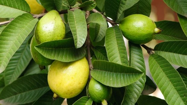 Image result for Guava Leaves