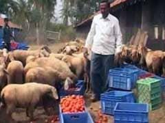 कर्नाटक : नोटबंदी से टमाटर किसान बेहाल, अपनी फसल मवेशियों को खिलाने को मजबूर
