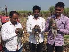 पुणे के पास गन्ने के खेत में तेंदुए के 3 छोटे छोटे बच्चे मिले