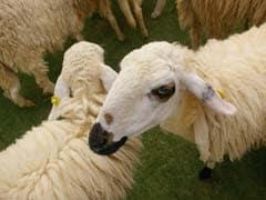 15 Sheep Enrolled In France School In Bid To Save It