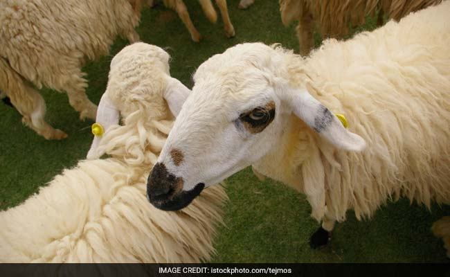 15 Sheep Enrolled In France School In Bid To Save It