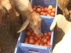 When Cash Crunch Led To A Tomato Feast For Sheep In Karnataka