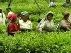 Purple Tea Debuts At Guwahati Tea Auction, Sells For Record Price