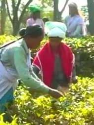 Rare Variety Of Tea From Assam Sold For Rs 75,000 Per Kg At