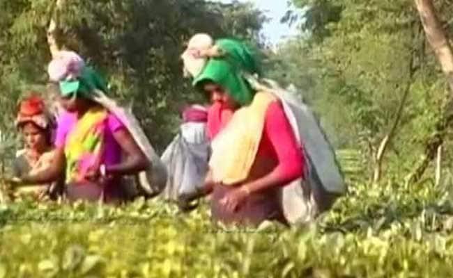 असम : लॉकडाउन और बारिश से चाय की फसल को नुकसान, नीलामी में चढ़े दाम