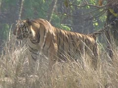 Kanha's Famous Tiger Bheema Killed In Territorial Fight