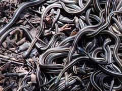 Forest Officers Find 100 Baby Cobras In Labourer's House In Odisha