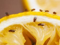 Flies May Cause Severe Gut and Tummy Infections That Previously Thought: Study