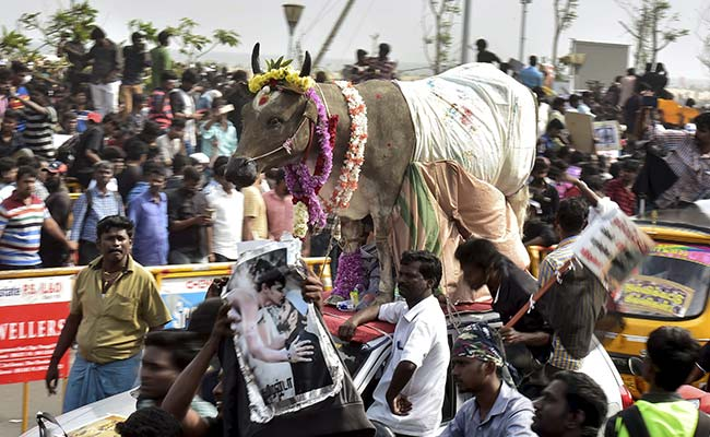 As Jallikattu Resumed, 2 Trampled To Death, Dozens Injured: Foreign Media