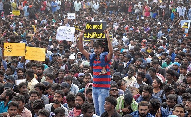 jallikattu protests reuters