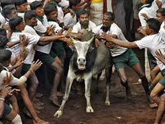 Jallikattu: Centre To Withdraw Notification Under Challenge In Top Court
