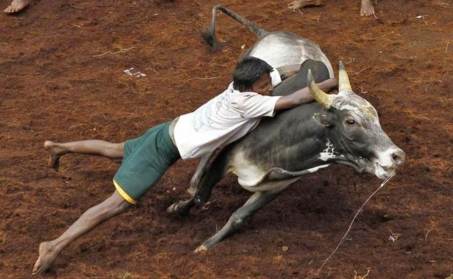 What Is Jallikattu? All You Need To Know About Tamil Nadu's Bull-Taming Tradition