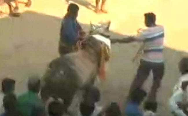 Tradition Trumps Law As Tamil Nadu's Madurai Holds Jallikattu