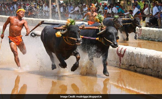 After Jallikattu Row, Karnataka Wants Ban Lifted On Kambala - Buffalo Race