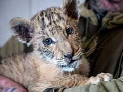 Rare Lion-Tiger Hybrid Born In Southern Russian Zoo