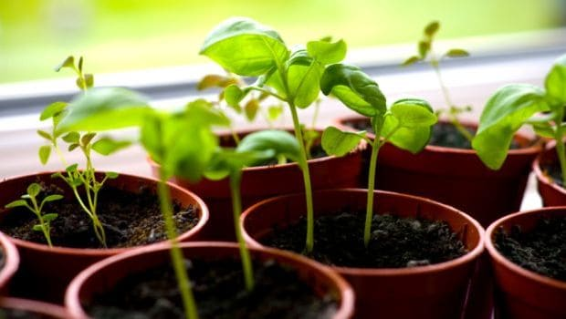 5 Herbal Medicines You Can Grow in Your Balcony