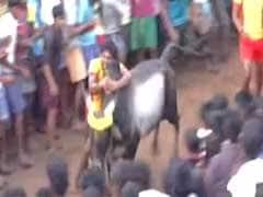 Despite Protests, Tamil Nadu Gets To Watch Some Jallikattu