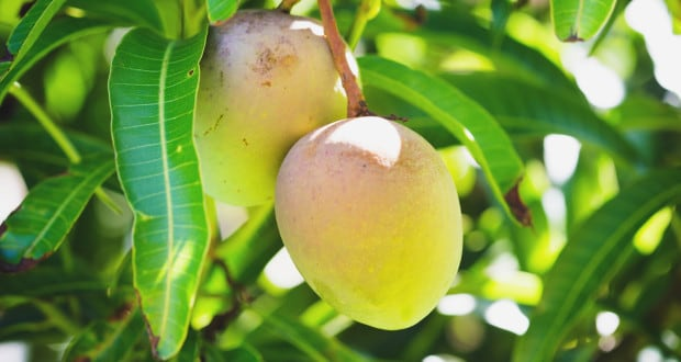 10 Unknown Benefits of Mango Leaves: Don't Throw Them Away!